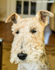 Charlie - Wire Hair Fox Terrier