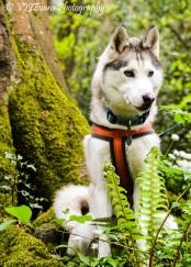 Cloud - Siberian Husky