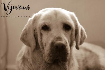 Marley - Labrador
